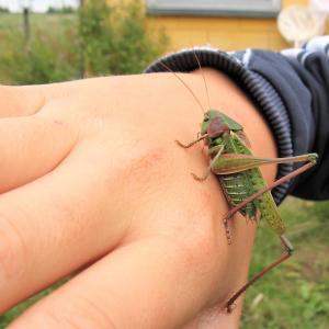 barnehånd med græshoppe